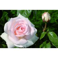 Штамбовая роза Александр Пушкин